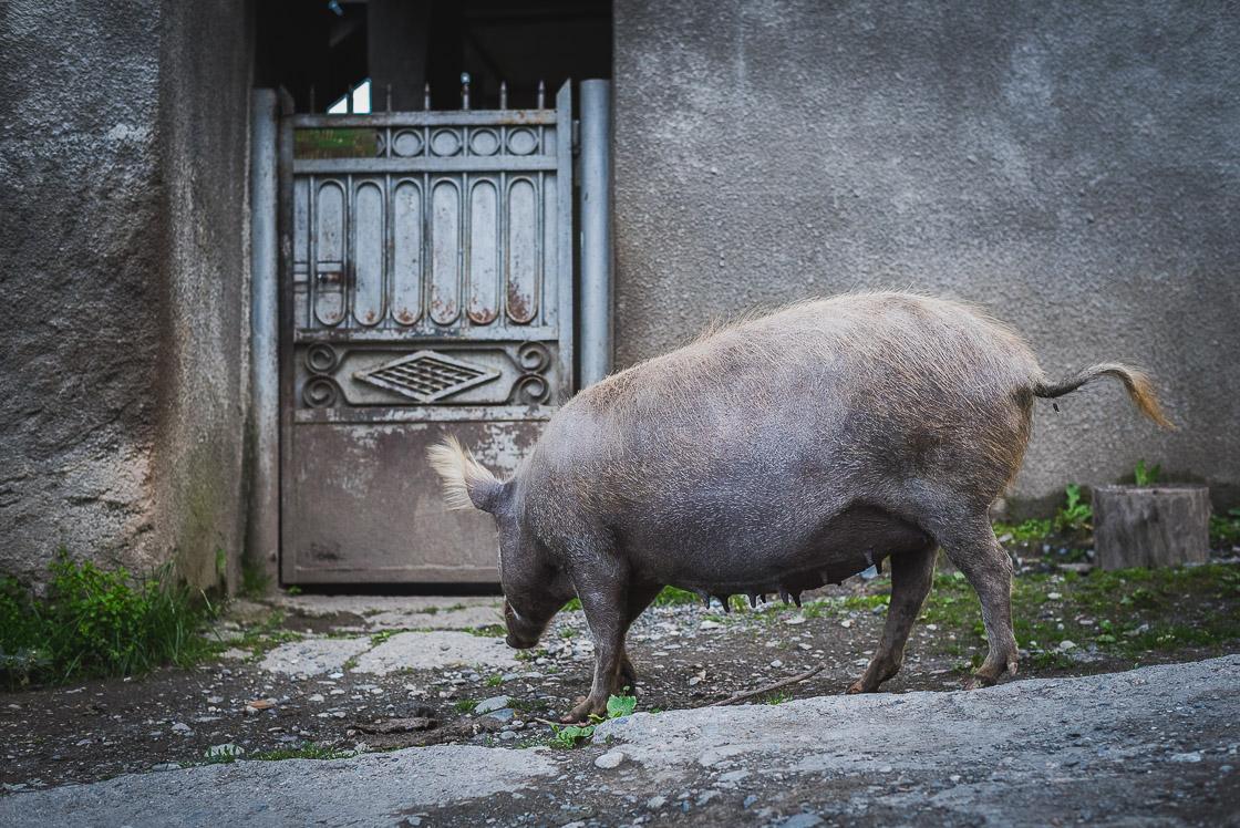 свинья у калитке дома своего