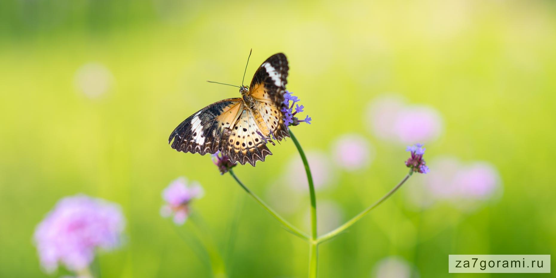 бабочка на вербене